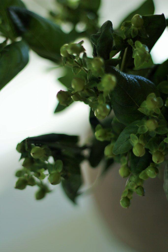 Marjakuismaa saa vihreän lisäksi myös puna-, ruskea-, tai valkomarjaisena.