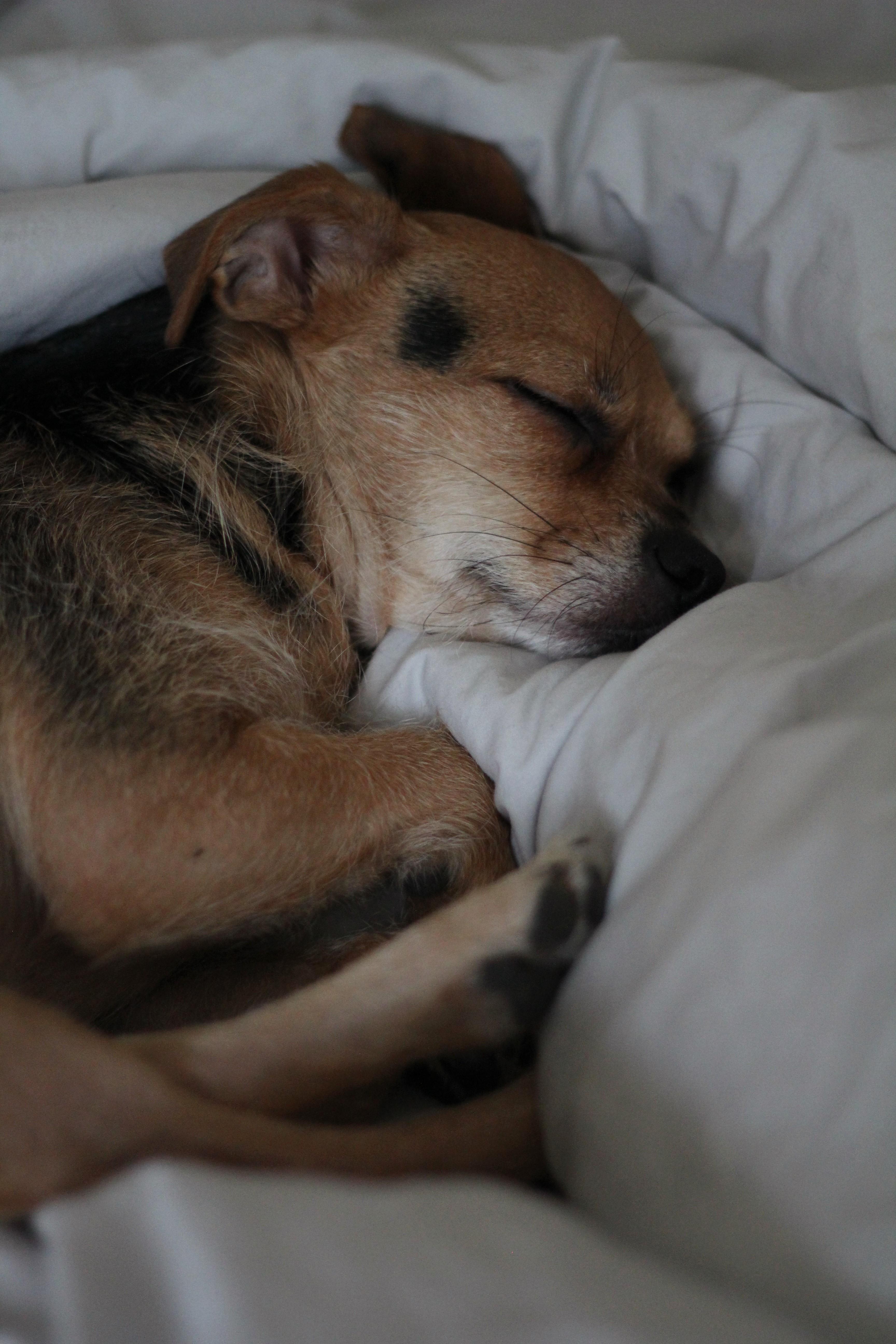 Meillä saavat koirat nukkua sängyssä, ja tätä etua hyödynnetään häpeilemättä. Kun aamulla ihmiset nousevat sängystä, koiravuoro aloittaa saman tien.