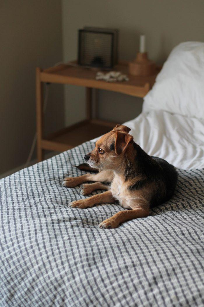 Alvar-koira sängyllä